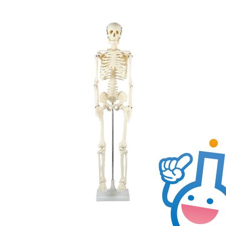 61-6022-15 8850 人体骨格模型
