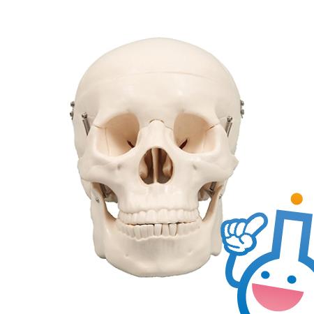 61-6022-80 9700 頭蓋骨模型