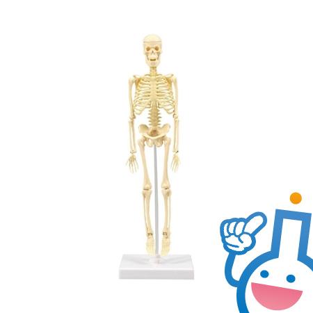 61-6062-45 93608 人体骨格模型30cm