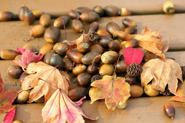 秋の風物詩、ころころどんぐり